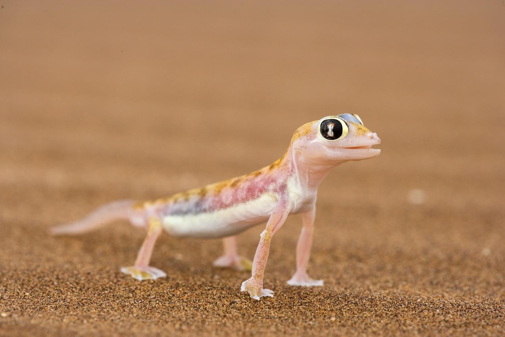 Namibgecko in der Wste